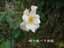 緑の館 バラ図鑑: サリー・ホルムズ
