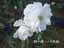 緑の館 バラ図鑑: アイスバーグ