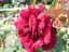 緑の館 バラ図鑑: パパ・メイアン