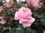 緑の館 バラ図鑑: クィーン・エリザベス