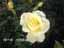 緑の館 バラ図鑑: エリナ