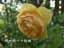緑の館 バラ図鑑: グラハム・トーマス