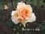 緑の館 バラ図鑑: ジャスト・ジョーイ
