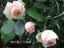 緑の館 バラ図鑑: ピエール・ドゥ・ロンサール