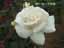 緑の館 バラ図鑑: パスカリ