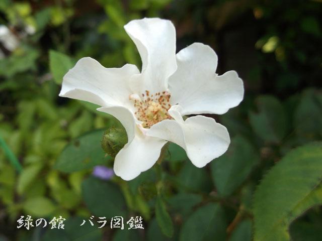 緑の館 バラ図鑑: ニキータ