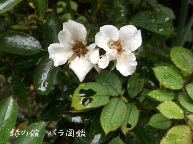緑の館 バラ図鑑: ニキータ 夏花