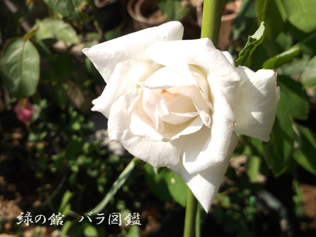 緑の館 バラ図鑑: ニフェトス 夏花