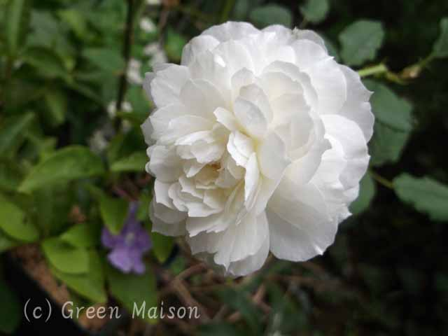 緑の館 バラ図鑑: しずく