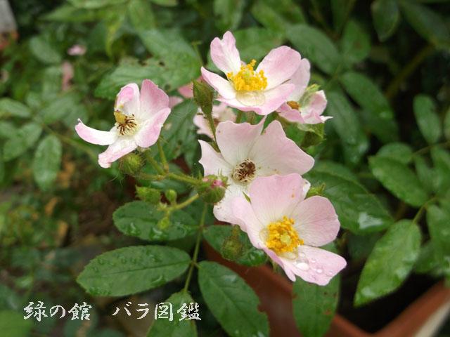 緑の館 バラ図鑑: バレリーナ 夏花