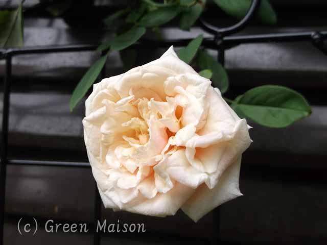 緑の館 バラ図鑑: グロワール・ドゥ・ディジョン