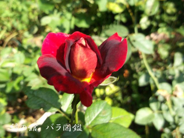緑の館 バラ図鑑: ブラックゴールド 夏花