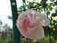緑の館 バラ図鑑: ニュー・ドーン