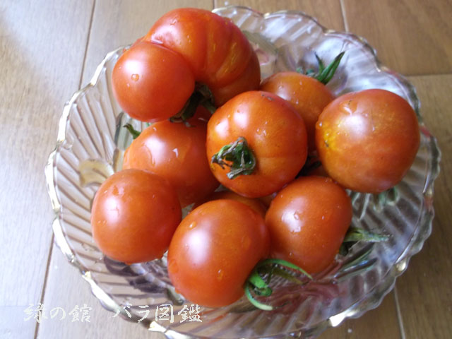 小さな庭 ミニトマト収穫