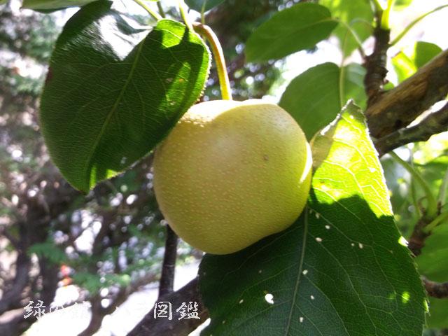 緑の館 バラ図鑑: 梨
