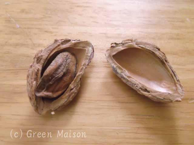 緑の館 バラ図鑑: アーモンド収穫