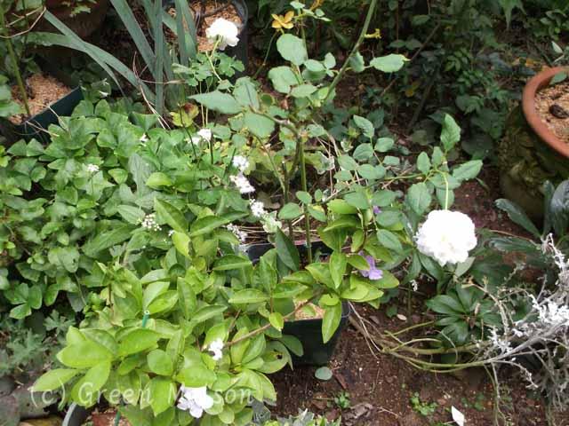 緑の館 バラ図鑑:9月のホワイトガーデン