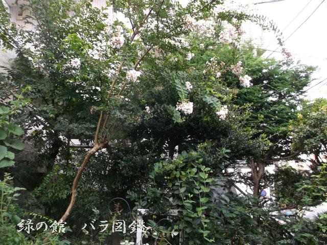 緑の館 バラ図鑑: サルスベリ